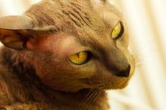 Orientalny kot z dużymi żółtymi oczami Zdjęcie Stock
