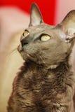 Orientalny kot z dużymi żółtymi oczami Obrazy Stock