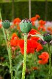 Orientalny Makowego ziarna strąk Obraz Royalty Free