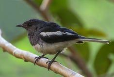 Orientalny sroka rudzika ptak obrazy royalty free