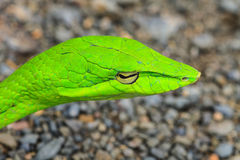 Orientalny Whipsnake lub azjata winograd wąż Zdjęcie Stock
