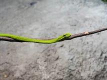 Orientalny Whipsnake lub azjata winograd wąż Fotografia Royalty Free