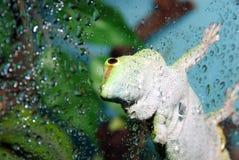 Orientation blanche et verte de gecko sur l'oeil photographie stock