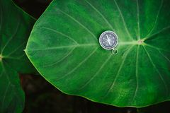 Orientation concept - Analogical Compass laying on the huge deep green colored lotus leaf.  Stock Photo