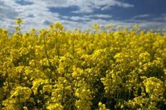 Orientation haute de graine de colza et différentielle proche Image libre de droits
