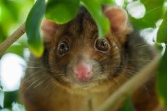 Orientation peu profonde d'opossum de Ringtail Image libre de droits