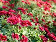 Orientation sélectrice de chrysanthemum Images libres de droits