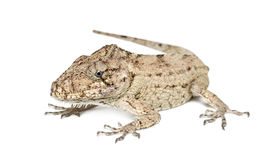 Oriente Bearded Anole or Anolis porcus Stock Image