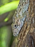 Oriente bearded anole, Anolis porcus, is one of the larger anolis. One Oriente bearded anole, Anolis porcus, is one of the larger anolis stock photo