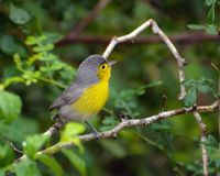 Oriente warbler Royalty Free Stock Photo