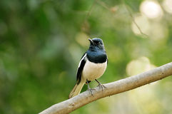 Orientel Magpie Robin Royalty Free Stock Image