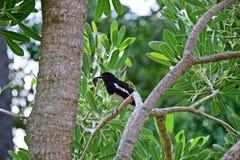 Orientel magpie-robin Stock Photos
