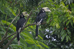 Orientierter gescheckter Hornbill Stockfotografie