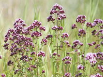 Origan d'herbe Image stock