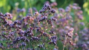 Origan de floraison se déplaçant le vent au coucher du soleil banque de vidéos
