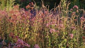 Origan de floraison se déplaçant le vent au coucher du soleil clips vidéos
