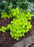 Origano fresco nel giardino di verde della casa dell'erba fotografia stock