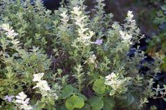 Origano planterar closeupen Fotografering för Bildbyråer