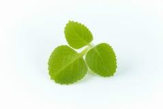 Origano verde fotografia stock libera da diritti
