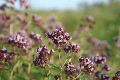 Origanum. Oregano blooms in summer in the fields Royalty Free Stock Photos