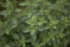 Origanum majorana close up. Fresh leaves of Origanum majorana herb stock photo