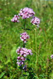 Origanum vulgare Stock Image