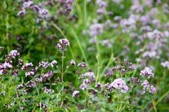 Origanum vulgare or common oregano, wild marjoram in the sunny day. Wild origanum vulgare or common oregano, marjoram in the mountains stock photography