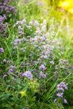 Origanum vulgare or common oregano, wild marjoram in the sunny day. Wild origanum vulgare or common oregano, marjoram in the mountains stock images