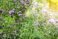 Origanum vulgare or common oregano, wild marjoram in the sunny day. Wild origanum vulgare or common oregano, marjoram in the mountains royalty free stock images