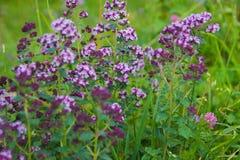 Origanum vulgare or common oregano, wild marjoram in the sunny day. Wild origanum vulgare or common oregano, marjoram in the mountains stock image