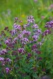 Origanum vulgare or common oregano, wild marjoram in the sunny day. Wild origanum vulgare or common oregano, marjoram in the mountains royalty free stock photos