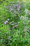 Origanum vulgare or common oregano, wild marjoram in the sunny day. Wild origanum vulgare or common oregano, marjoram in the mountains stock photo
