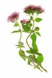 Origanum vulgare Royalty Free Stock Image