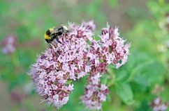 Origanum vulgare. Oregano in bloom and bumblebee stock photography