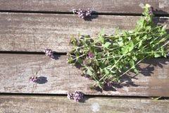 Origanum vulgare oregano herb Stock Image
