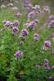 Origanum vulgare oregano. Violet-pink flowers of oregano Origanum vulgare in July close-up royalty free stock image