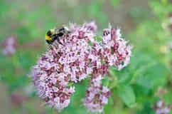 Origanum vulgare Oregano w kwiacie i bumblebee fotografia stock