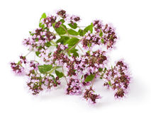 Origanum vulgare Stock Photo