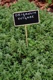 Origanum vulgare Stock Images