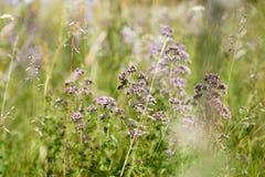 Origanum vulgare porpora del fiore Fotografia Stock
