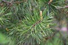 A origem de cones do pinho Floresta do pinho na mola foto de stock royalty free