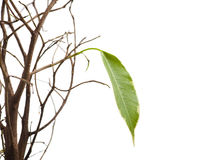 Origin of a new life. A lonely green leaf isolated on white Royalty Free Stock Photography