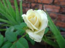 White Rose, nature, environment, color royalty free stock photography