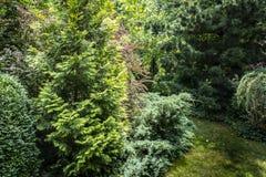 Original background of mixed evergreens Buxus sempervirens, Juniperus squamata Вlue carpet, Thuja. Occidentalis Yellow Ribbon, Pinus parviflora Glauca. Nature Stock Images