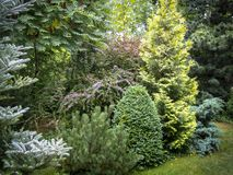 Original background of mixed evergreens Buxus sempervirens, Pinus mugo Pumilio,. Juniperus squamata Вlue carpet, Thuja occidentalis Yellow Ribbon, Pinus Royalty Free Stock Photography