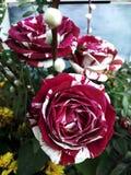 Original- bicoloured rosor i en tr?dg?rd arkivfoton