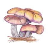 Original Clitocybe nuda stock illustration