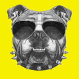 Original drawing of English Bulldog with collar and sunglasses. On colored background Royalty Free Stock Photos