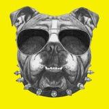 Original drawing of English Bulldog with collar and sunglasses. Royalty Free Stock Photos