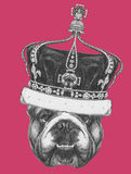 Original drawing of English Bulldog with crown. On colored background Stock Photos